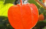 Как называются оранжевые цветы похожие на фонарики
