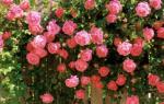 Как правильно сажать розу вьющуюся