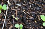 Как выращивать репу на даче