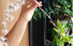 Как выращивать в домашних условиях золотой ус