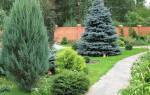 Ель на садовом участке плюсы и минусы