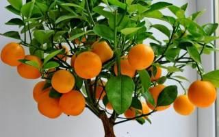 Как вырастить в домашних условиях мандарин