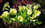 Как выглядит примула цветок