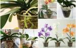 Как вырастить из семян орхидею