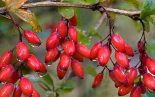 Как выглядит барбарис дерево с ягодами