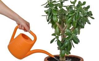 Как поливать цветок денежное дерево