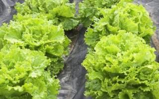 Как вырастить салат на подоконнике в квартире зимой