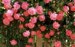 Если на зиму не обрезать розы на зиму