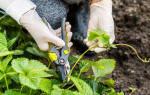 Как обрезать землянику осенью