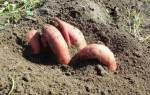 Как вырастить батат в сибири