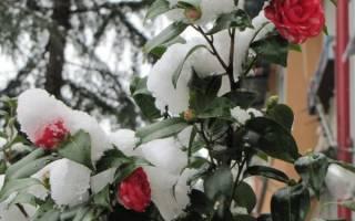 Как правильно укрывать розы осенью