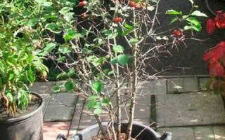 Как пересадить боярышник осенью