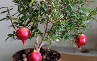 Как вырастить гранат из косточки в домашних условиях с плодами
