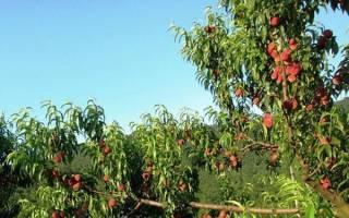 Как вырастить дерево персиковое