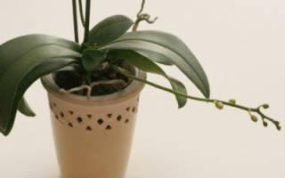 Как выглядит у орхидеи цветонос