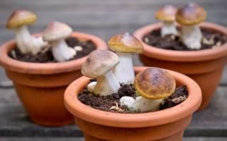 Как вырастить белые грибы в домашних условиях в квартире