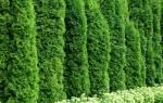 Как вырастить туи из черенков