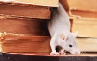 Как отравить крыс и мышей народные средства