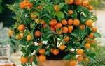 Как вырастить апельсиновое дерево в домашних условиях из косточки
