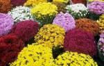Как пересадить хризантему купленную в магазине в горшок