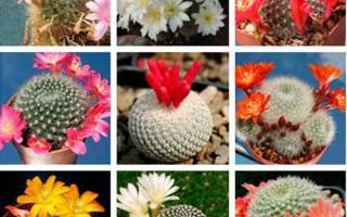 Как из семян вырастить кактусы в домашних условиях