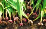 Как обработать луковицы гладиолусов на зиму