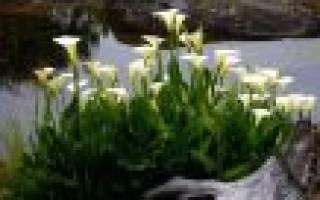 Как выращивать каллы на даче