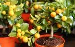 Как прививать мандарин в домашних условиях