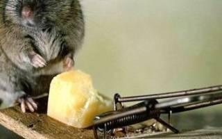 Как защитить дом от мышей зимой