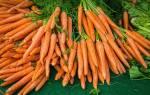 В какие сроки сажать морковь под зиму