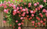 Как вырастить плетистую розу на даче