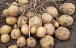 Как называется плод картофеля