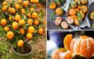 Как вырастить из косточки мандарин
