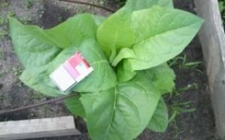 Как выращивать табак и как его приготовить к курению