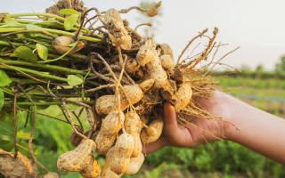 Земляной орех как выращивать