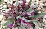 Как называется цветок комнатный фиолетовый