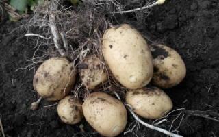 Как подготовить картофель на семена