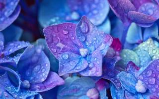 Гортензия на какой год начинает цвести