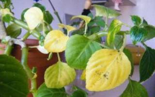 Желтеют листья у ваньки мокрого что делать