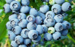 Выращивание голубики как бизнес рентабельность