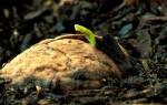 Грецкий орех как вырастить