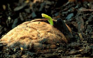 Как вырастить грецкий орех из плода в домашних условиях