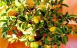 Дерево лимон дома как ухаживать