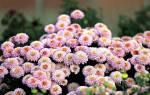 Как заставить хризантемы цвести раньше