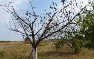 Как избавиться от вишни на участке навсегда