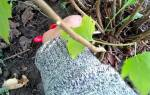 Как вырастить черенками смородину