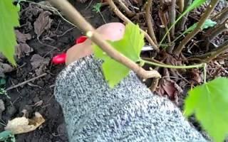 Как правильно рассадить кусты смородины отводками