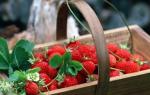 Как выращивать клубнику в теплице зимой