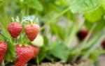 Как пересаживать садовую землянику