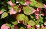 Где сажать актинидию в тени или на солнце